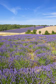 Vertical view of lavender and wheat field — Stock Photo