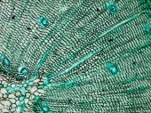 Micrografo legno pino — Foto Stock