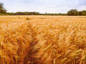 Retro-look barleycorn fältet — Stockfoto