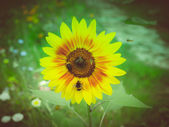 Retro look Sunflower flower — Stock Photo