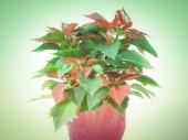 Retro look Poinsettia — Stock Photo