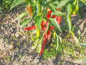 Chili Pepper — Stockfoto