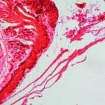 Epithelium micrograph — Stock Photo #60182813