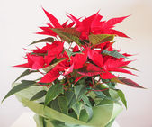 Poinsettia Christmas star — Stock Photo
