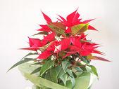 Poinsettia Christmas star — Stockfoto
