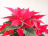Poinsettia Christmas star — Stockfoto
