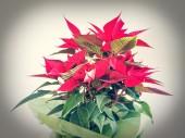 Пуансеттия-Рождественская звезда — Стоковое фото