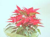 Poinsettia Christmas star — Stock Photo