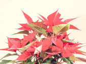 ポインセチアのクリスマスの星 — ストック写真