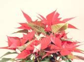 Poinsettia Kerstster — Stockfoto