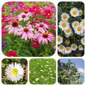 Ensemble de fleurs daisy — Photo