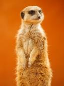 Meerkat looking around — Stock Photo