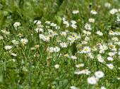 Camomile on green grass. — Stock Photo