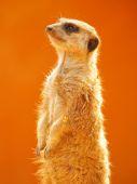 Standing Meerkat  in Africa — Stock Photo