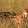 Male cheetah in Masai Mara — Stock Photo #62148227