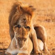 Mating lions in Masai Mara — Stock Photo #62148439