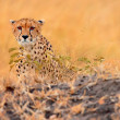 Male cheetah in Masai Mara — Stock Photo #62149385