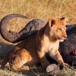 Lion cub in Masai Mara — Stock Photo #62152641