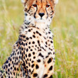 Male cheetah in Masai Mara — Stock Photo #62153017