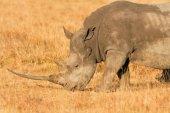 White Rhino in Nakuru Park — Stock Photo