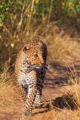 Female leopard in Masai Mara — 图库照片