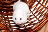 White mouse in basket — Stockfoto