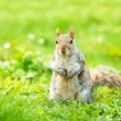 Squirrel  on green grass — Stock Photo #62181675