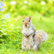 Squirrel  on green grass — Stock Photo #62181681