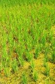 Cultivo de arroz na Tailândia — Fotografia Stock