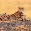 Male cheetah in Masai Mara — Stock Photo #62213181