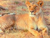Lioness in Masai Mara — Fotografia Stock