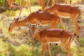 Female Impalas herd — Foto Stock