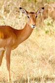 Female Impala, Kenya — Stock Photo