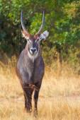 Waterbuck in Nakuru Park — Stock Photo