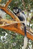 Colobus monkey, Nakuru Lake — Stock Photo