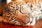 Baby leopard in Thailand — Stock Photo