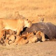 Pride of lions eating pray — Stock Photo #62399743