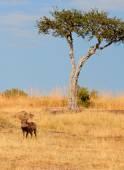 Warthog, Masai Mara — Stock Photo