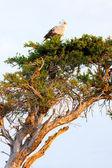 Secretary bird, Masai Mara — Stock Photo
