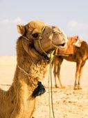 Camels in sandy desert — Stock Photo