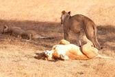 Lionesses in Masai Mara — Stock Photo