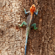 Red headed agama lizard, Amboseli — Stock Photo #63346347