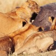 Pride of lions eating pray — Stock Photo #63347661