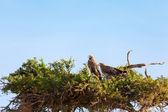 Tawny Eagle, Masai Mara — Stock Photo