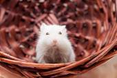 White mouse in basket — Stock Photo
