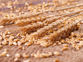 Wheat and grains on burlap — Stock Photo