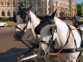 Horses in Vienna used for entertainment — Stock Photo