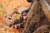 Baby baboon sucking — Stock Photo