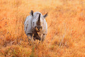 Black Rhino in Nakuru Park — Stock Photo