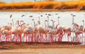 Flamingos nära Lake Bogoria, Kenya — Stockfoto